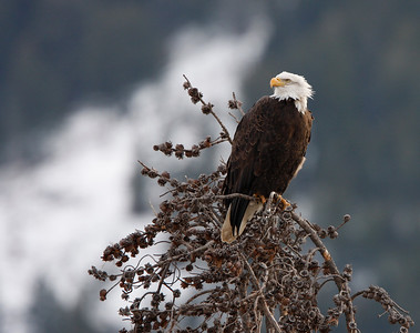 Bald Eagle in Lamar Valley, Yellowstone National Park, WY. Dedicated to my Mom - Anna Cutrupi
