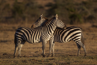 "Zebras - Ol Pejeta Conservancy, Kenya    ""You scratch my back..."""