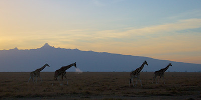 Giraffes at Mount Kenya, sunrise
