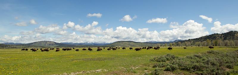 A Bison stampede, Grand Teton National Park, WY