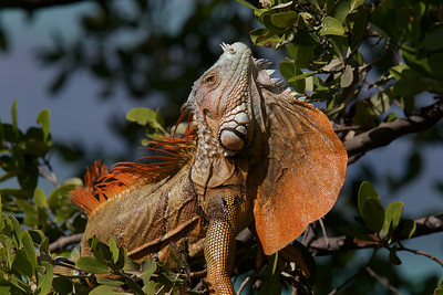 Red Flame Iguana