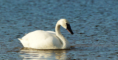 The return of the Trumpeter Swan in NJ