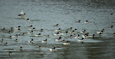 Mergansers, Cormorants and Sea Gulls in a feeding Frenzy in Monmouth Reservoir, NJ
