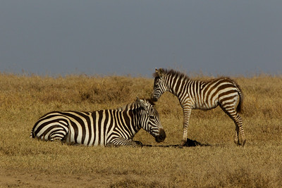 Young Zebra encouraging his mother to stand up.