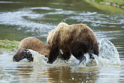 Sow and her cub fighting over a Salmon. Look between the bears.