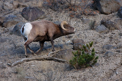 Male big horn sheep in rutting season