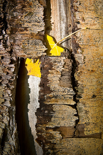 'Yellow Leaf in Bark' - Crested Butte, Colorado