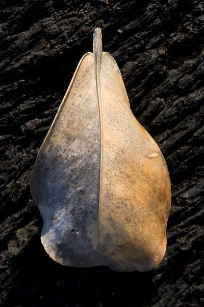 'Avocado Leaf' - Hawai'i