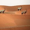In Line - Arabian Oryx