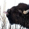 Bison browse