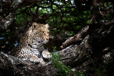 Light & The Hunting Leopard