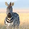 Zebra on The Serengeti