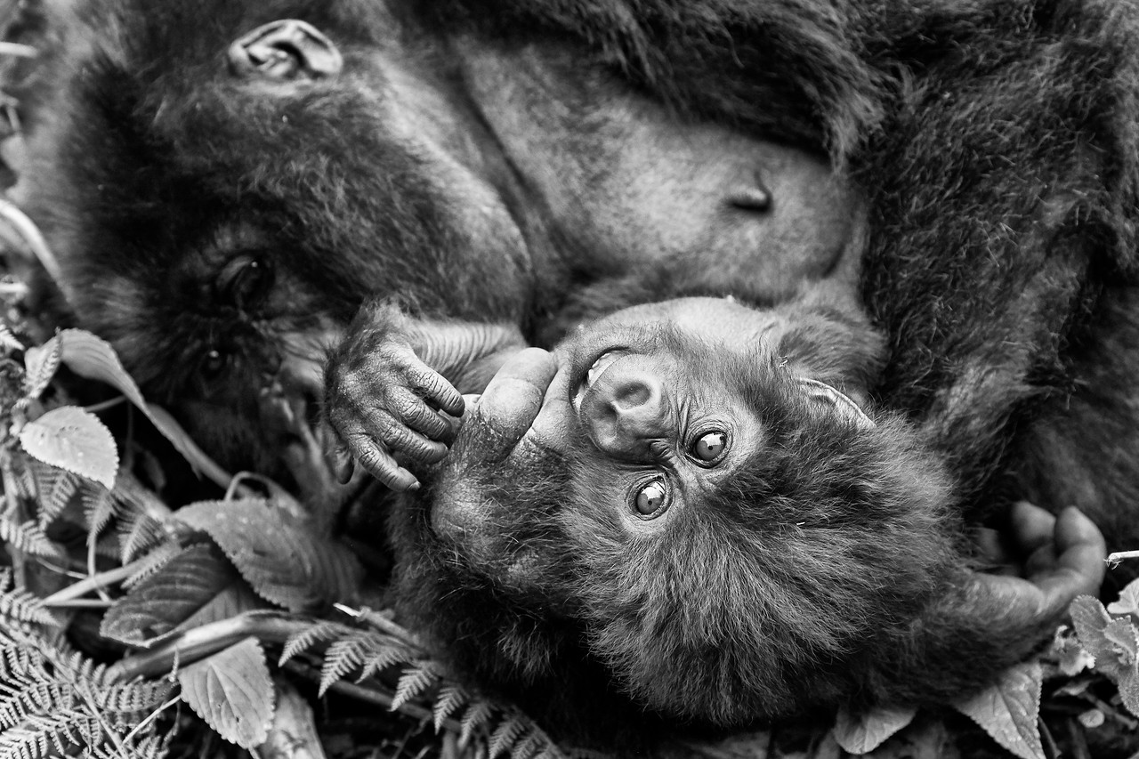 Gorilla Exhibition 2018