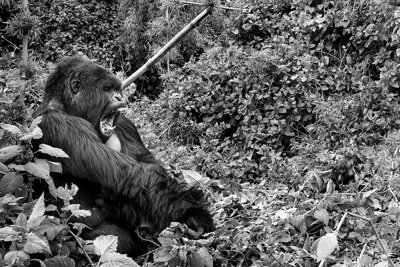 Gorillas of Virunga
