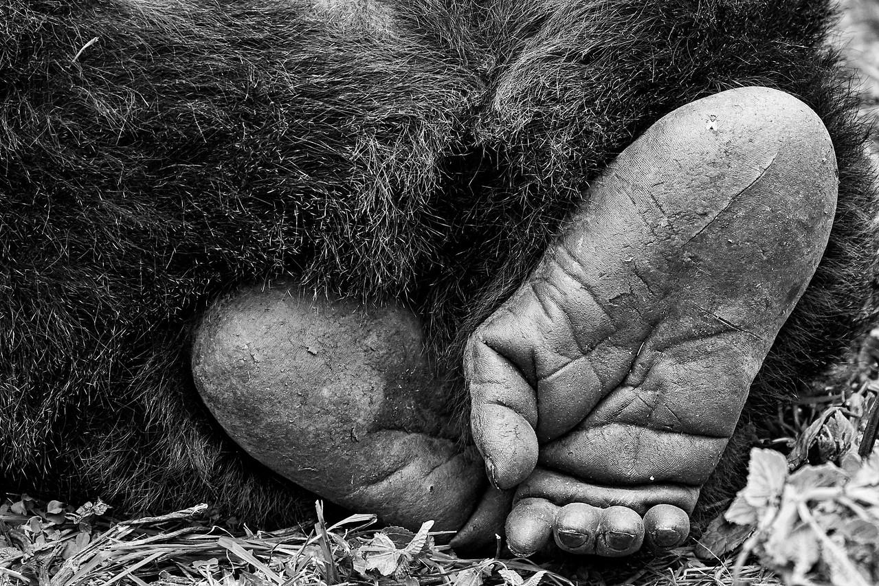 Gorillas of Virunga