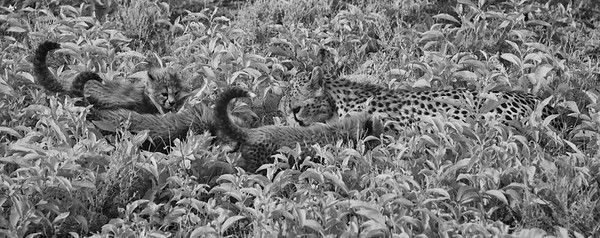 Cheetah Lunch time