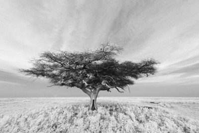 Acacia Tree on The Ndutu Plain