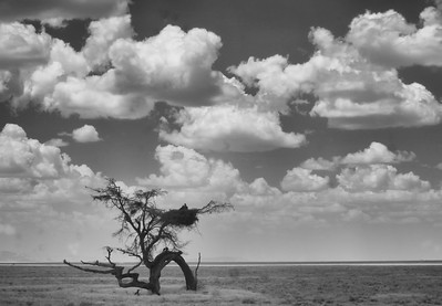 Devil Tree Serengeti
