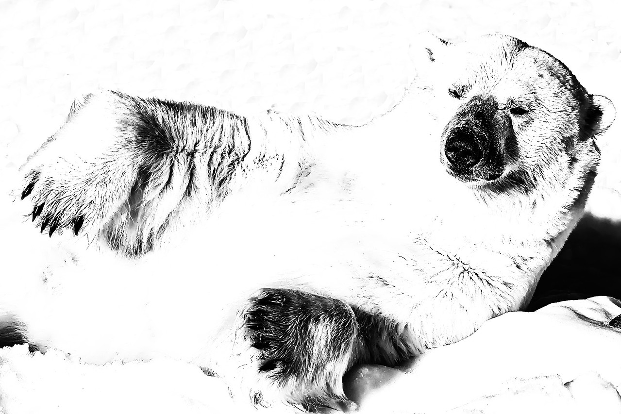 Polar Bear Relaxing