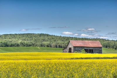 Canola Fields, northern QC-8206-6-7