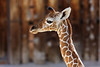 Week 17: The Albuquerque Zoo had a one week old baby giraffe.  Unfortunately, her mother rejected her and she is being hand raised.  At birth, she was 6 feet tall and 120 pounds.