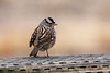 Week 2: A White Crowned Sparrow from Bosque Del Apache.