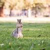 356/366 UC Davis Squirrel