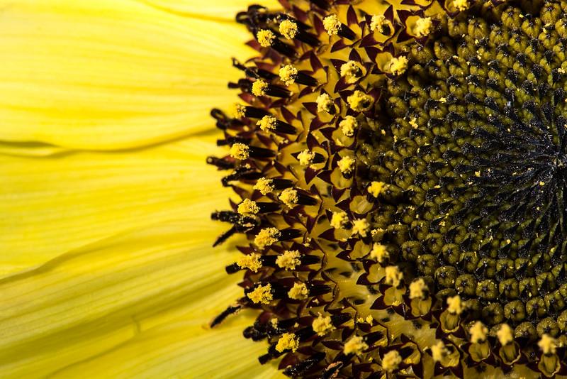 182/366 Sunflower