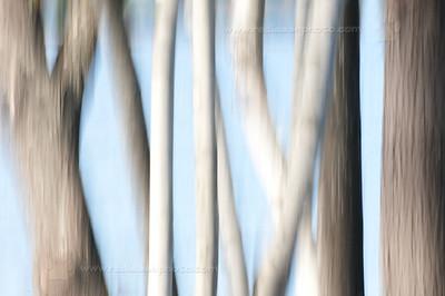 Dancing Birch