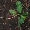 SAJ0017 Calycacanthus magnusianus