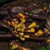 SAJ0075A Hulemacanthus novoguineensis