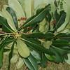Conn5522 Saurauia plurilocularis