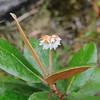 Conn5383 Saurauia congestiflora