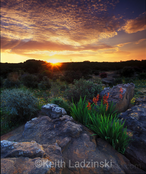 cedarberg wilderness area, south africa, wild flowers sunset