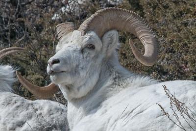 Dall sheep rams.