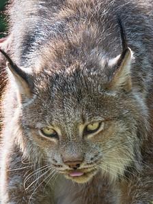 Lynx at the Kroeschal Wildlife Refuge near Haines, Alaska