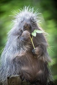 Porcupine at the Kroeschal Wildlife Refuge near Haines, Alaska