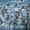 Barrows Goldeneyes taking flight