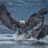 Eagle Action 10/24/16 - 1