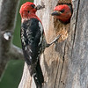Red Breasted Sapsuckers