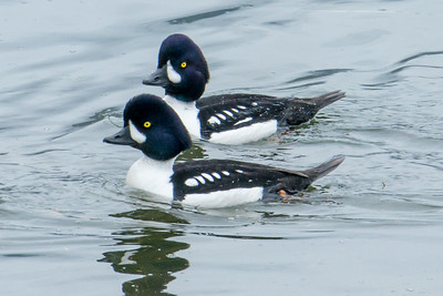 Barrows Goldeneyes