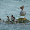 Mama Merganser and her brood of cuties