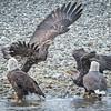 Eagle action 10/27/16 - 15