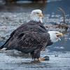 Eagle Action 10/24/16 - 18