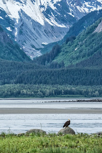 Eagle on the Chilkat Flats near Pyramid Island and God's Alley. Haines, Alaska.