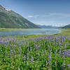 Lupines on Chilkoot River