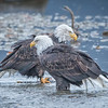 Eagle Action 10/24/16 - 15