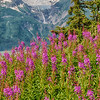 Fireweed and Rainbow Glacier