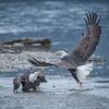 Eagle Action 10/24/16 - 3