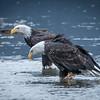 Eagle Action 10/24/16 - 14